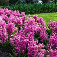 Hyacinth bulbs Pink pack of 8