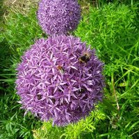 Allium christophii bulbs pack of 10