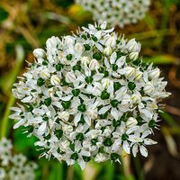 Allium nigrum bulbs pack of 10