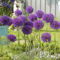 """Allium bulbs """"Purple Sensation"""" pack of 12"""