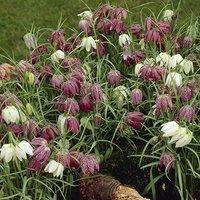 Fritillaria meleagris (Snakeshead Fritillary) bulbs pack of 30