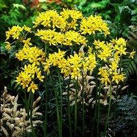 Allium moly (Golden Garlic) Size:4/5 pack of 100 bulbs