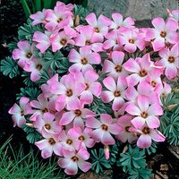 Oxalis adenophylla Size:6+ pack of 12 bulbs