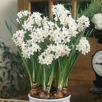 """Indoor Narcissius bulbs""""Paperwhites"""" pack of 5"""