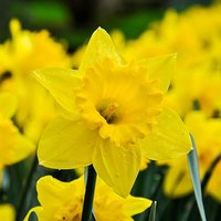 "Daffodil bulbs ""Trumpet Yellow"" pack of 15"