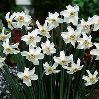 Daffodil bulbs 'Pheasant Eye' (Narcissus recurvus) pack of 10 bulbs