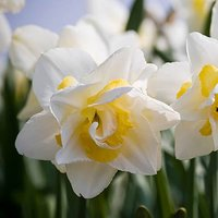 "Daffodil bulbs ""White Lion"" pack of 10"