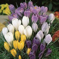 Jumbo Flowered Crocus - 50 mixed bulbs