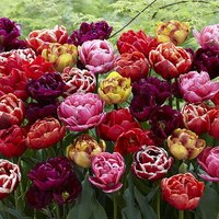 Peony-Flowered Tulip Mix x 20 Bulbs Size 11/12