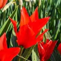 Tulip Red Riding Hood x 30 bulbs size 10/11