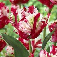 Tulip Estella Rijnveldt 10 bulbs size 12/+