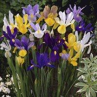 Pack of 100 Dutch Iris Mixed Bulbs Size 6/8
