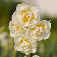 Pack of 25 Narcissus 'Bridal Crown' Bulbs