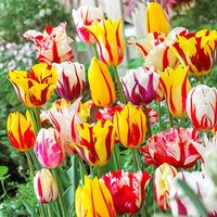 Tulip Rembrandt Mix 25 bulbs