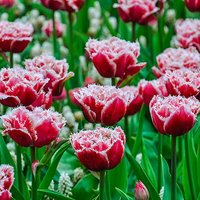 Tulip Queensland 11-12cm pack of 10 bulbs