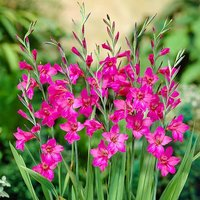 Gladiolus byzantinus 7/8cm pack of 50 bulbs
