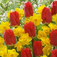 Early Red Tulip and Narcissus Tete a Tete Mix 100 bulbs size
