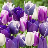 Paradise Purple Tulip Mix size 10/11 25 bulbs