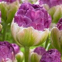 Tulip Exquisite pack of 15 bulbs