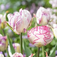 Tulips Double Touch and Shirley Double Mix 20 bulbs