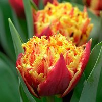 Tulip Gold Dust 12 bulbs size 11/12