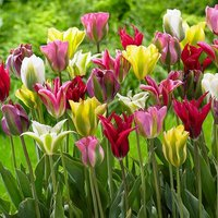 Tulip viridiflora Mix 25 bulbs