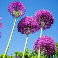 Allium Gladiator 5 bulbs size 16/18