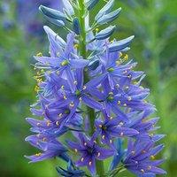 Camassia leichtlinii Blue 7 bulbs size 12/14