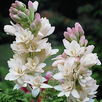 Polianthes tuberosa The Pearl (Tuberose) - pack x 10 size 12/14