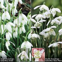 Snowdrops 50 singles & 25 doubles In the green