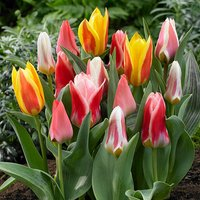 Tulip bulbs - Compact Height Mix - pack of 50