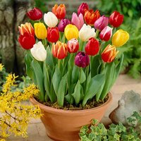 Tulip bulbs - Tall Triumph  Mix - pack of 50