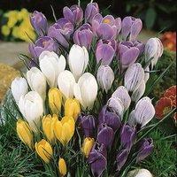 Crocus bulbs Giant Flowered Mix - pack of  100