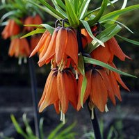 Fritillaria (Crown Imperial) Orange Bulbs - pack of 2 huge size 20/24.