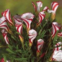 Oxalis versicolour bulbs - pack of 10