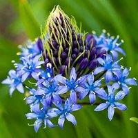 Scilla peruviana (Caribbean Lily) bulbs Size: 16/18 - pack of 3