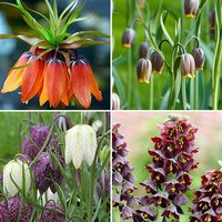 Fritillary Bulb Collection (85 bulbs) pack