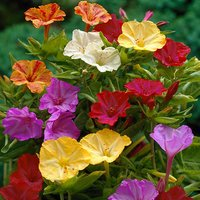 The Marvel of Peru (Mirabilis jalapa) - pack of 10 roots
