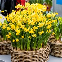 Pack of 50 Top Size Narcissus Tete a Tete Bulbs