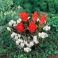 Plant-o-Mat Heart Shaped Tulip & Crocus planter 21 bulbs