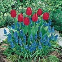 Plant-o-Mat Classic Tulip/Muscari 45 bulb planter kit