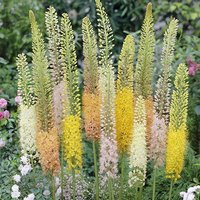 Eremurus 'Ruiter Hybrids' (Foxtail Lily) plant- pack of 3 roots