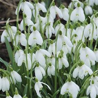 Snowdrops 'In the green' 100 single flowered bulbs