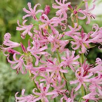Nerine bowdenii pack of 5 bulbs 12/14