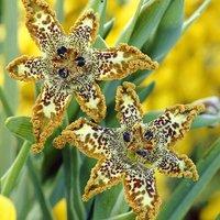 Ferraria crispa (Starfish Iris) x 2 corms