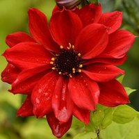 Dahlia Bishop of Llandaff pack of 5 tubers