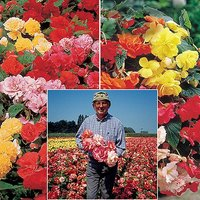 Belgian Giant Begonias - 10 Uprights and 10 Trailers