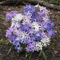 Chionodoxa Woodland Mix x 75 bulbs
