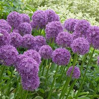 Allium Violet Beauty 50 Bulbs