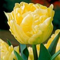 Premium Paeony Flowered Tulip